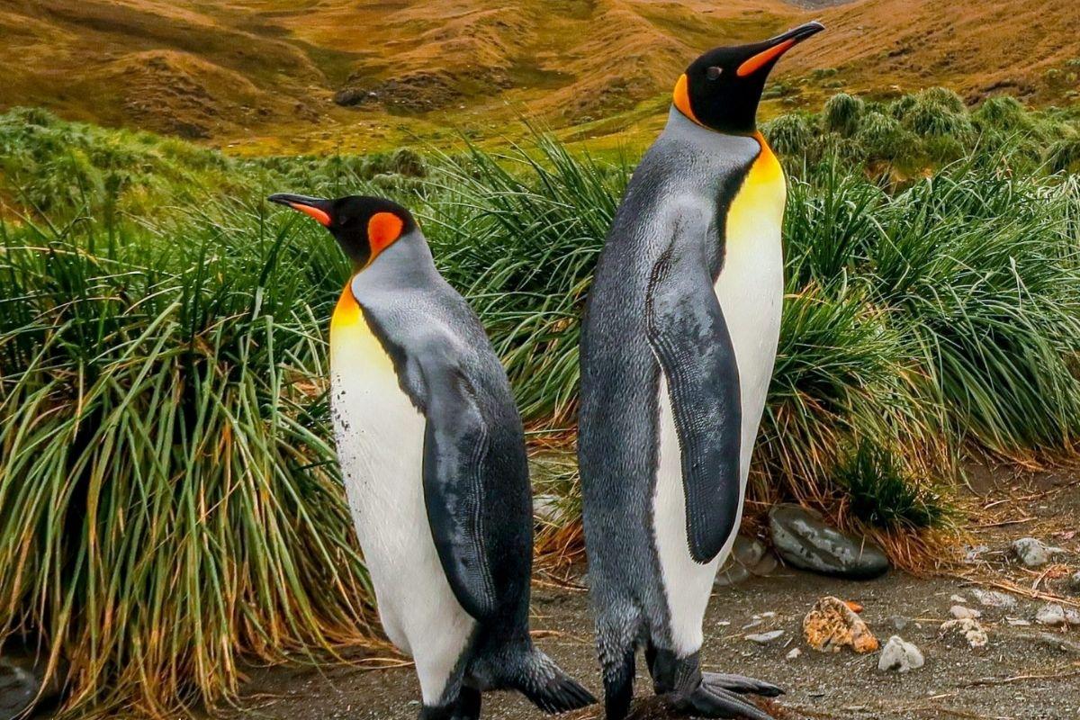 pinguins imperadores